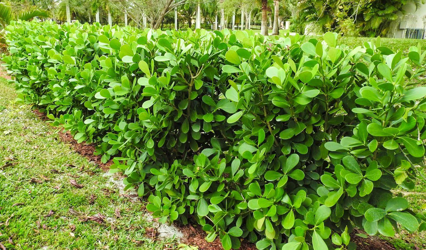 Clusia guttifera garden fence panels fence landscaping