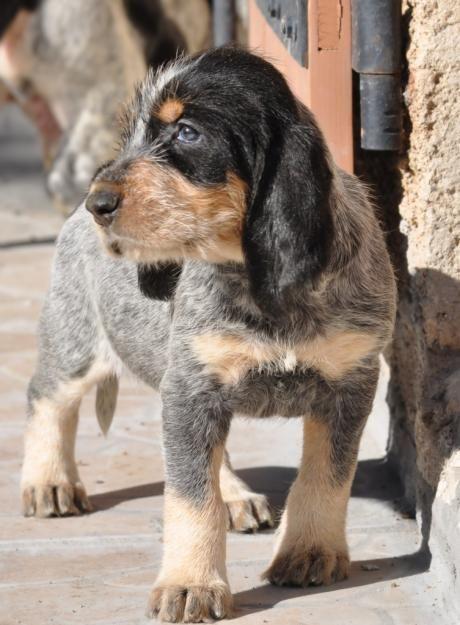 French Griffon Bleu De Gascogne Scenthound Dog Cute Dogs Dog Breeds Dog Cat