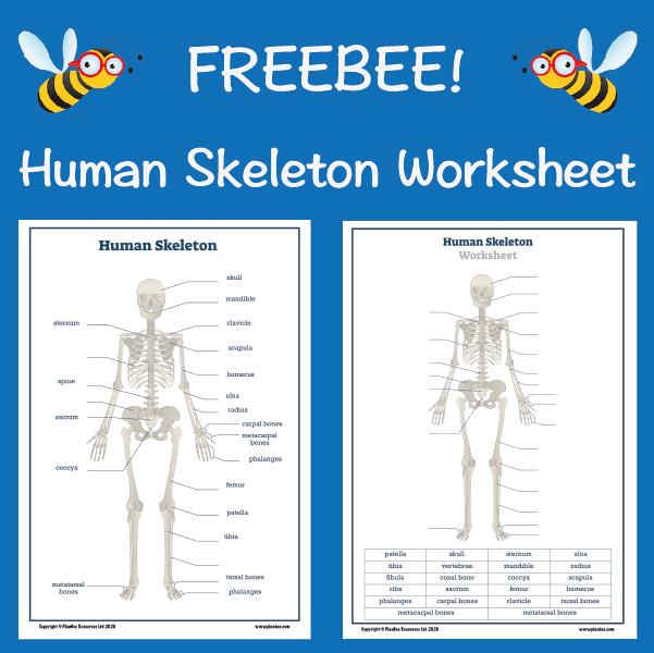 Human Skeleton Worksheet in 2020 | Human skeleton labeled ...