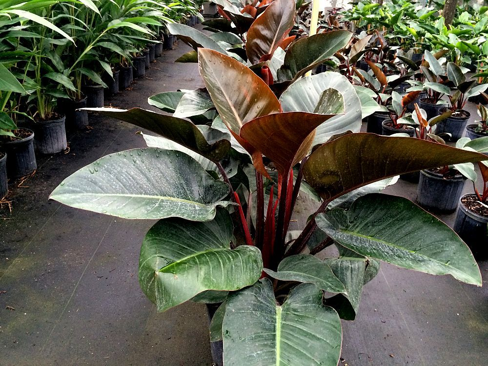 Philodendron Rojo Congo Red Congo Philodendron Plants