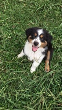 Litter Of 3 Miniature Australian Shepherd Puppies For Sale In Memphis Tn Adn 41315 On Puppyfinder Com Gender Male Age 12 Weeks Miniature Australian Shepherd Puppies Australian Shepherd Australian Shepherd Puppies