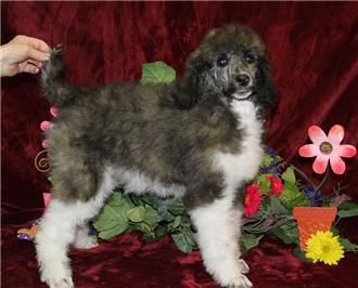 Pin On Poodle Puppies