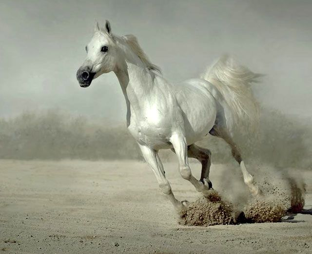 White running horses - photo#36