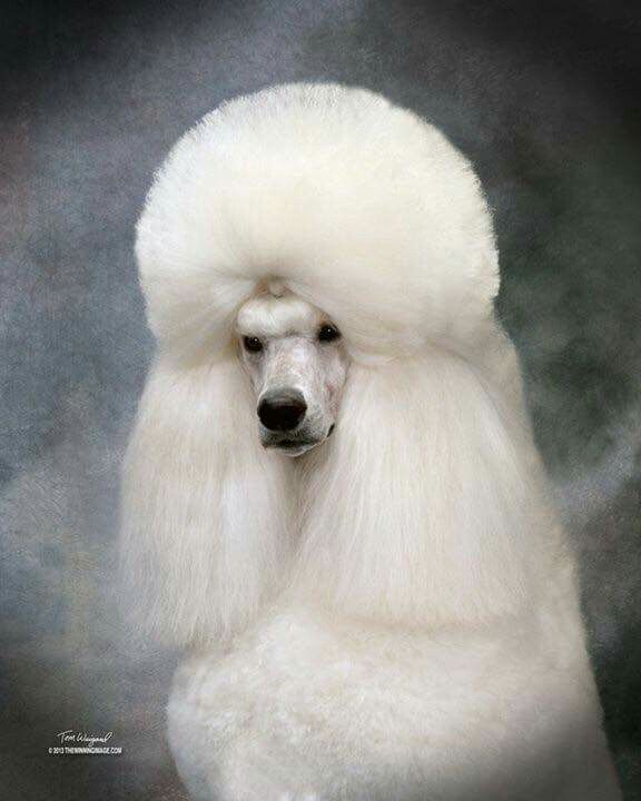 Beautiful Head Study Of This Gorgeous White Standard Poodle With