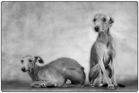 Two Italian Greyhound puppies.   Italian greyhound ...