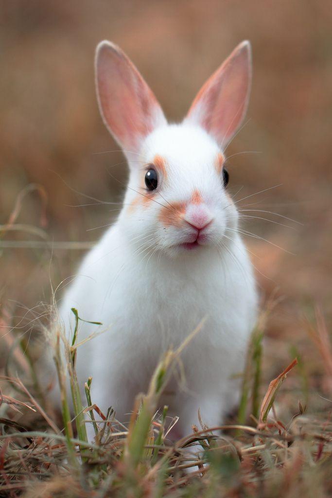 white bunny bunnies pinterest kaninchen hase und zwergkaninchen. Black Bedroom Furniture Sets. Home Design Ideas