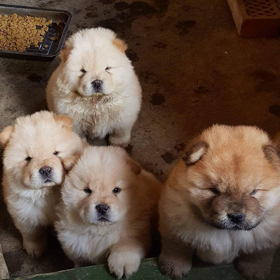 Chow chow cuteness pinterest dog animal and chow puppies