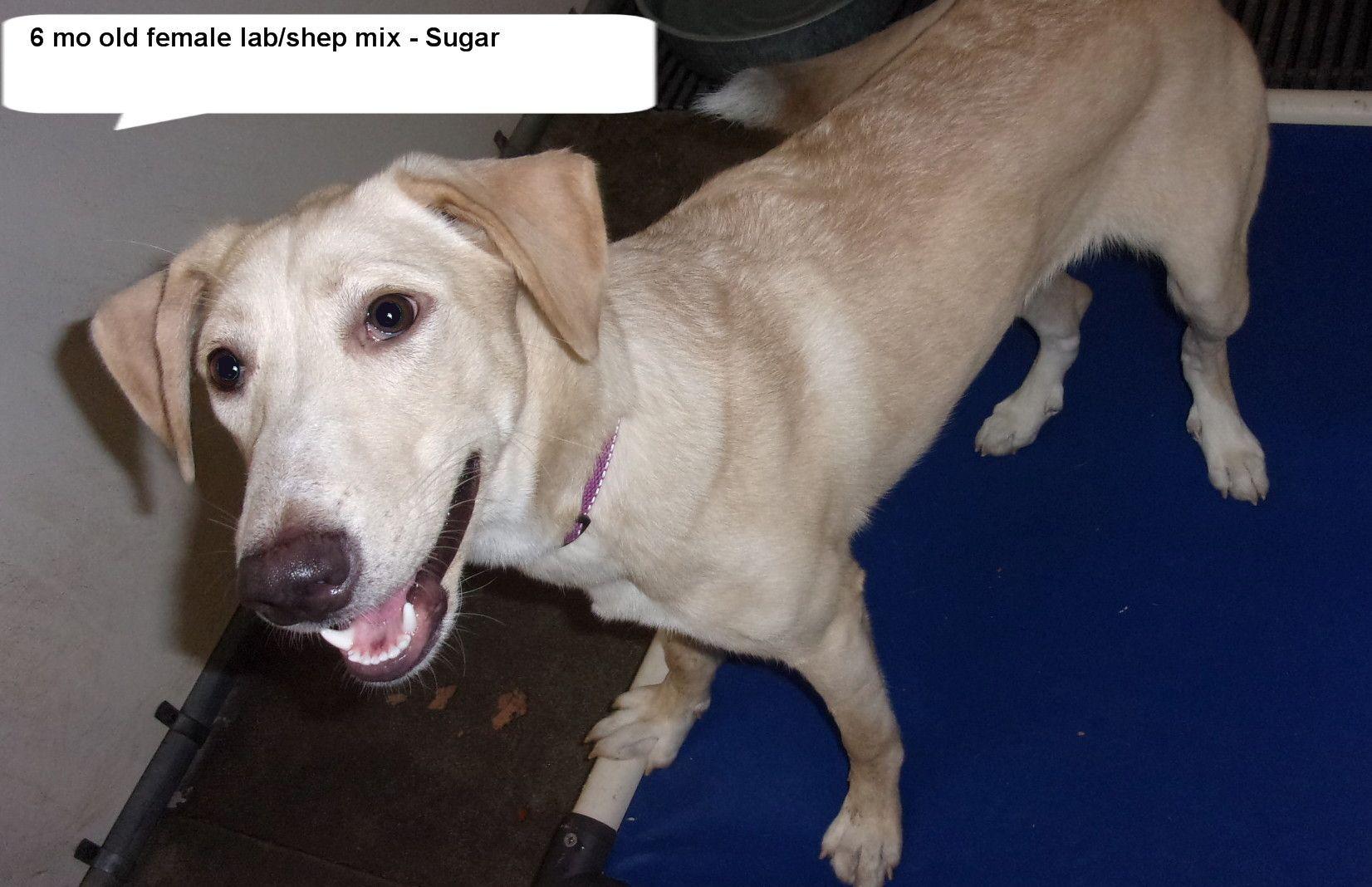 Adopt Sugar On Labrador Retriever Animal Shelter Shepherd Mix Dog