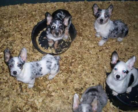 Cowboy Corgi Puppies Corgi Mix Puppies Cowboy Corgi Cute Animals