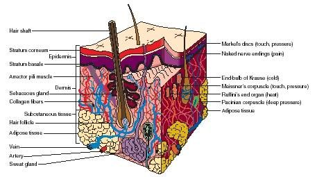 Worksheets Skin Structure Diagram To Label integumentary system facts cross section of the skin structures used for sensing are labeled