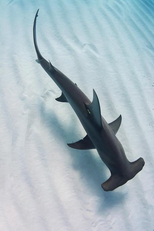 Great Hammerhead by Annie Guttridge Hammerhead shark