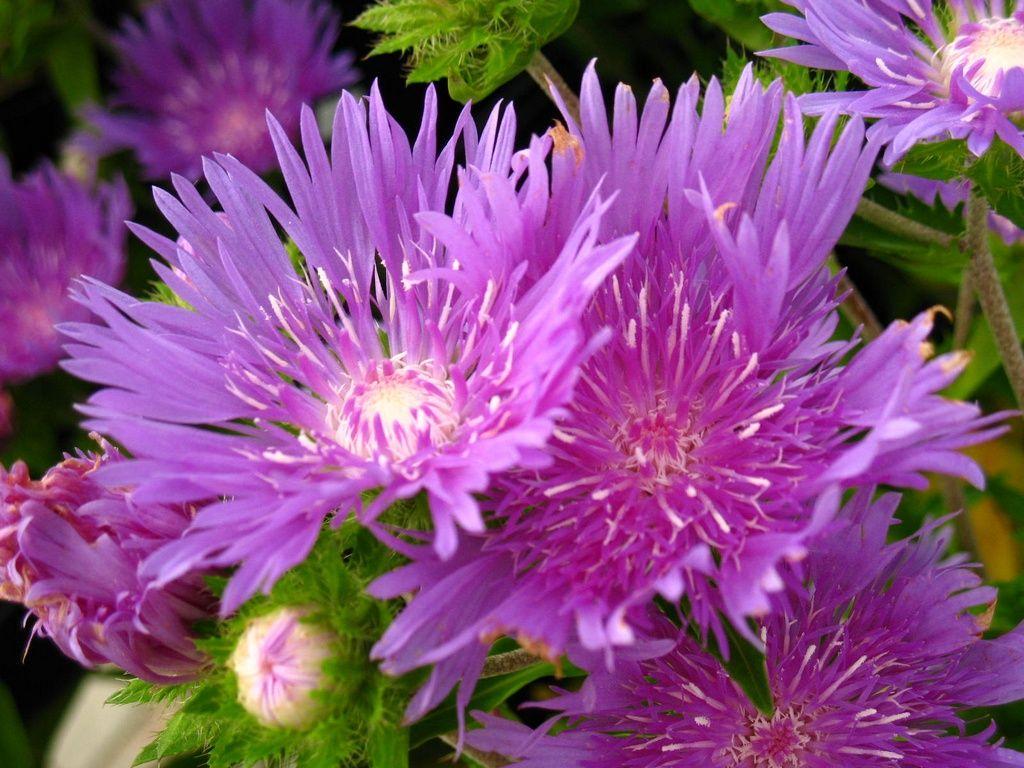 Stokes aster michigan perennial flower perennial flowers michigan perennial flower mightylinksfo Choice Image
