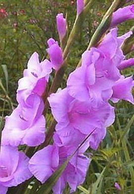 Allium Ampeloprasum Gladiolus Flower Gladiolus Easy To Grow Bulbs