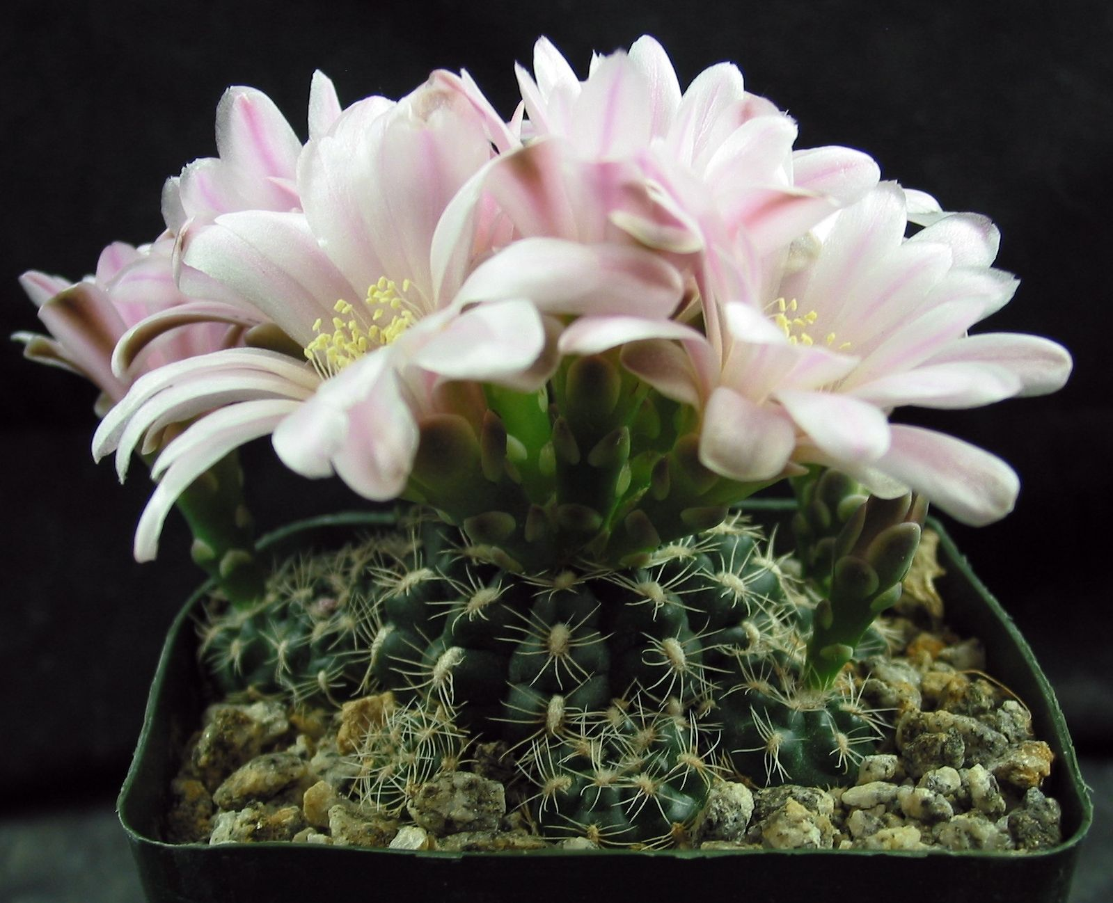 A Small Clumping Gymno With Small But Attractive Spines Big Light
