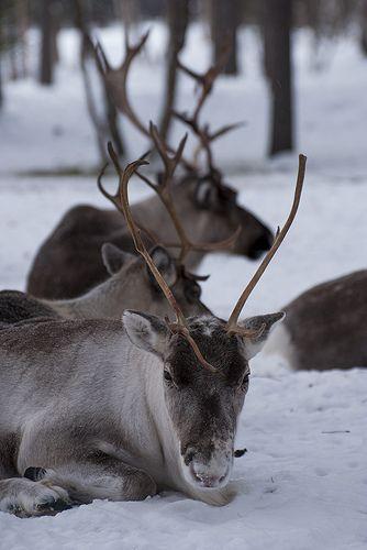 Reindeer chilling