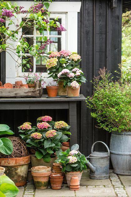 Hydrangeas potted in terracotta
