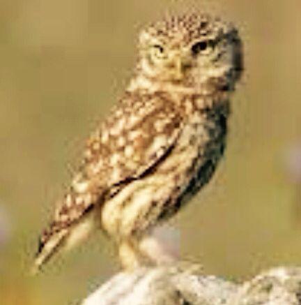 Owwls