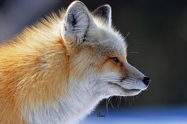 Red Fox by teagden - Jen Hall