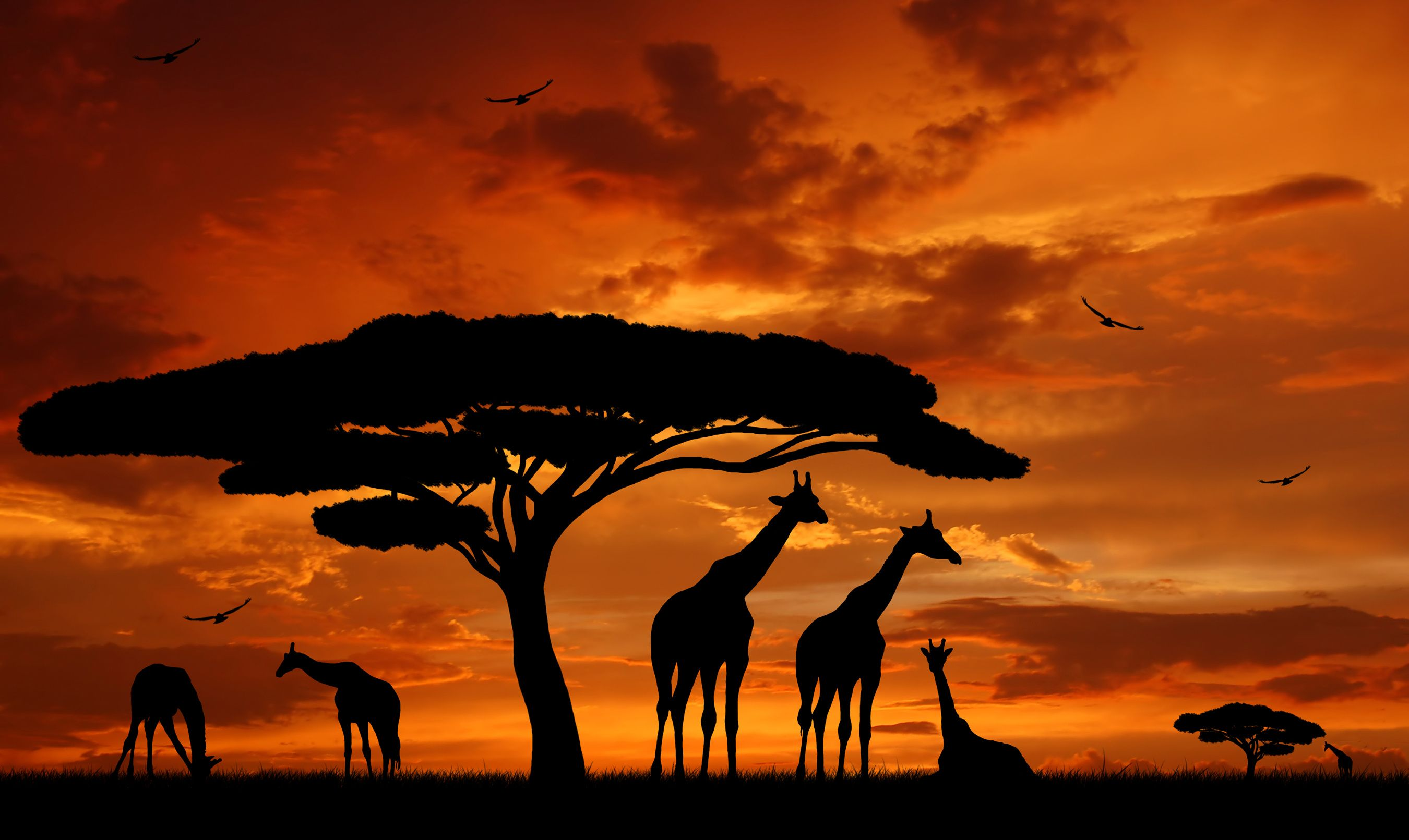 Savane afrique girafes coucher de soleil afrique - Animaux savane africaine ...