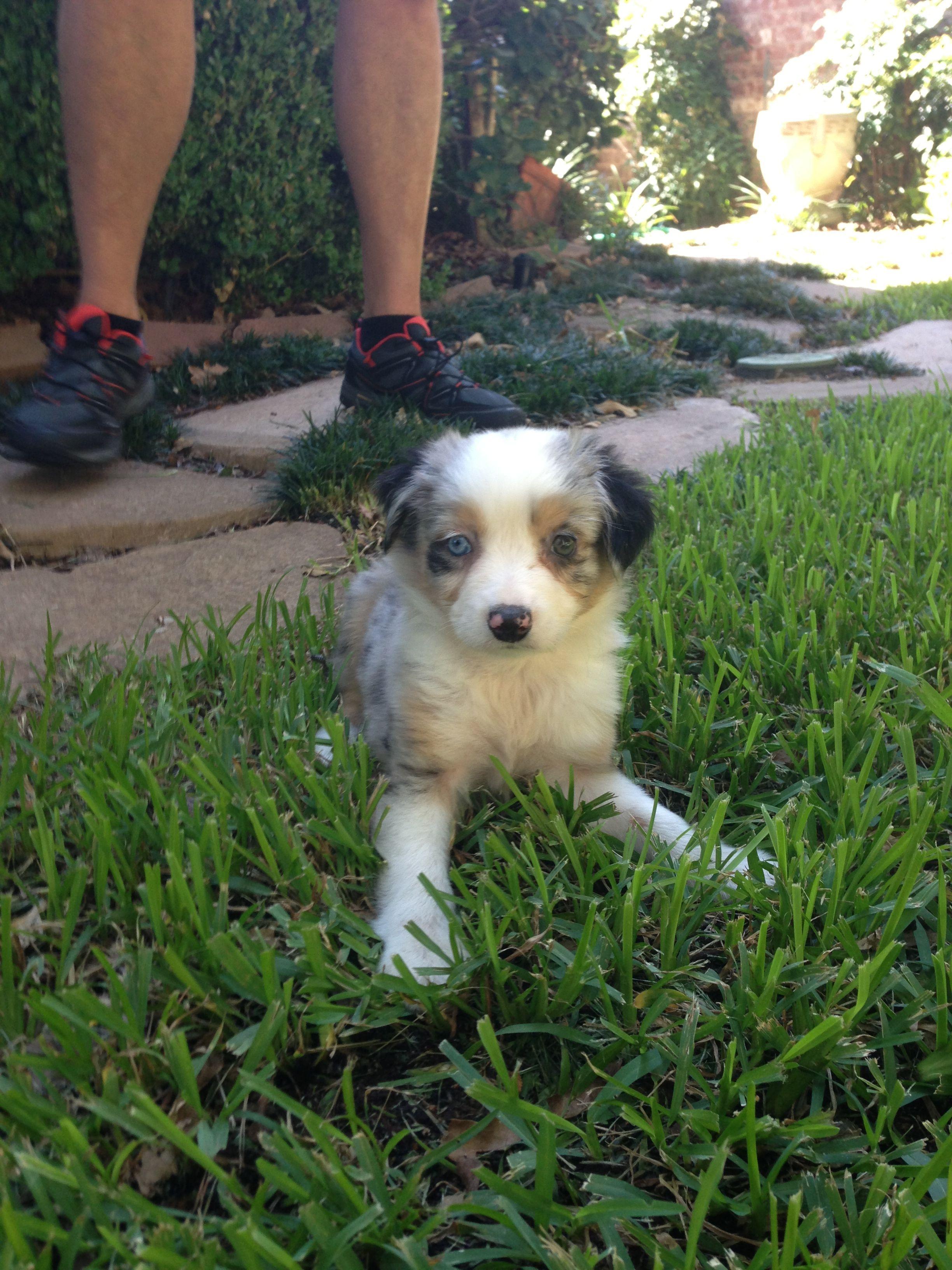 Kipper, my sweet mini Australian Shepherd