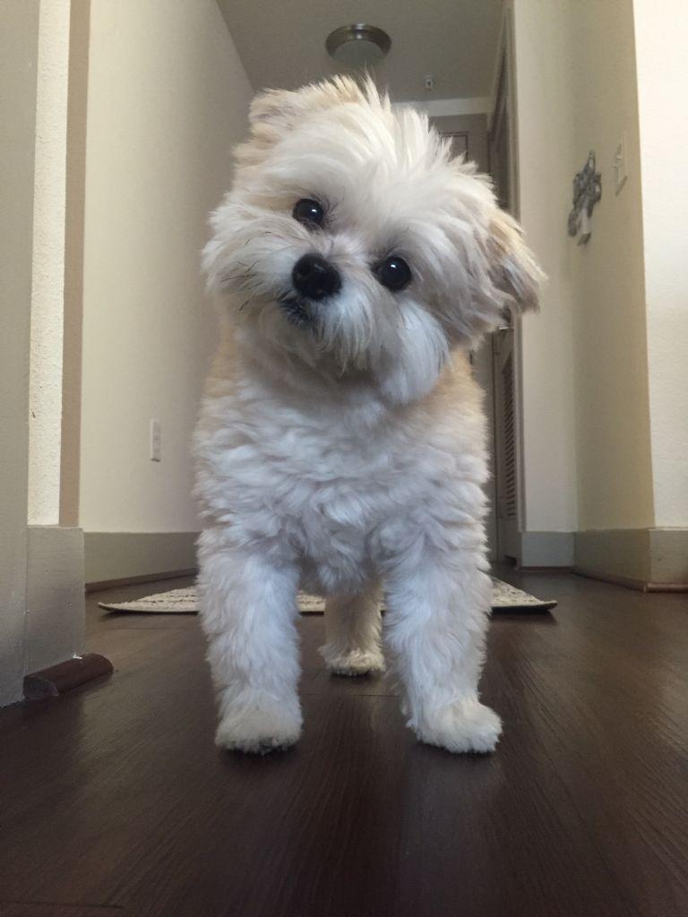 Pin By Ashley D B On 4 Legged Friends In 2020 Cute Pupies Shitzu Mix Teddy Bear Puppies