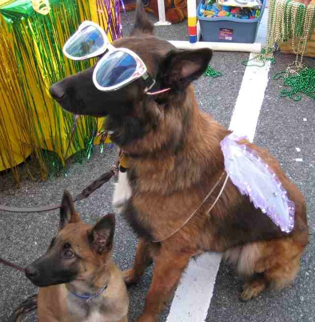 Snitch Mardis Gras Recognizing Your Dog's Limits