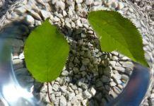 Ako listy dýchajú – pokus