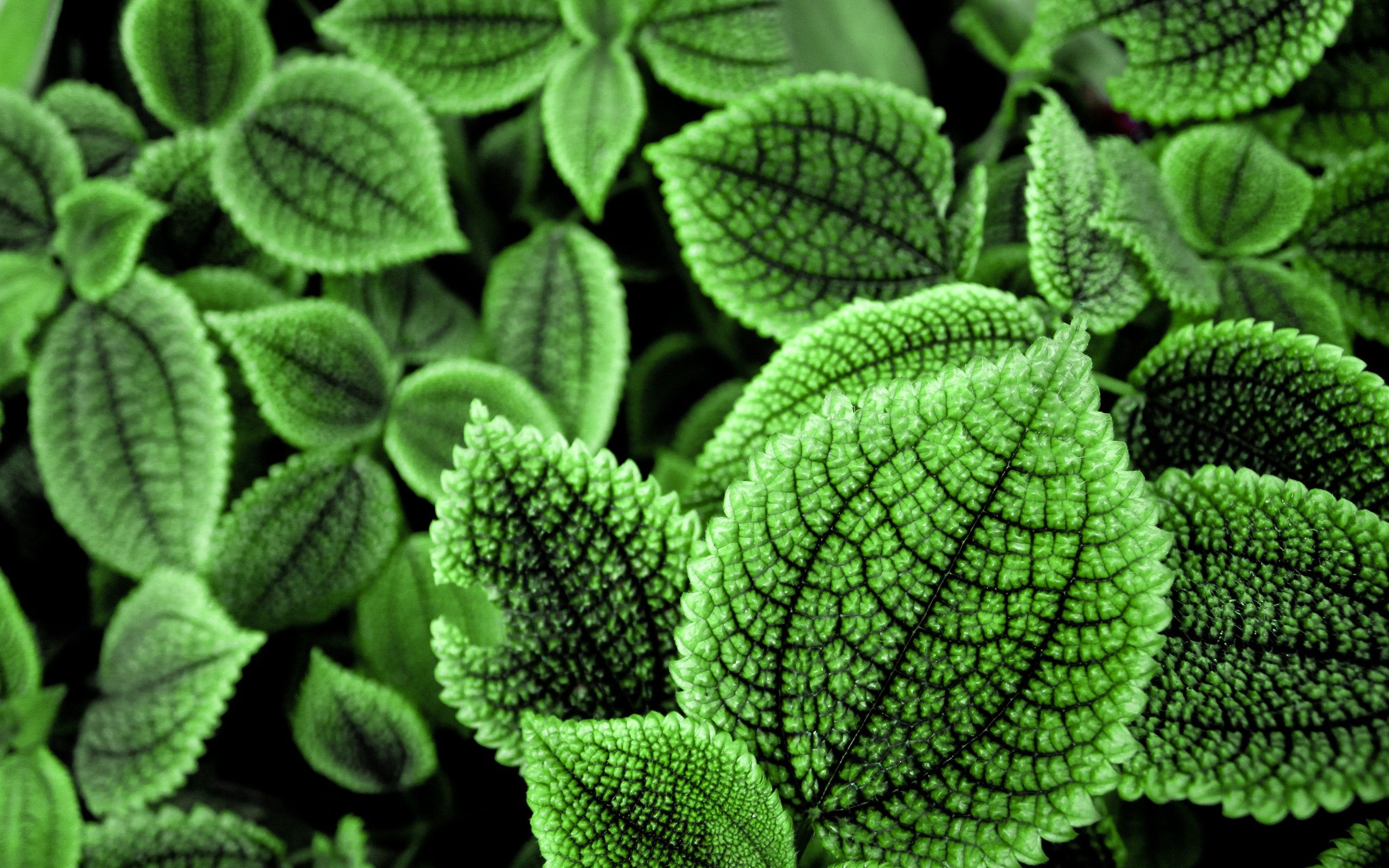 Herbs For Astral Projection Green Leaf Wallpaper Leaves Plant