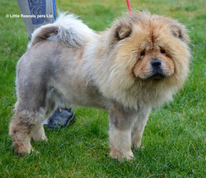 Samou Our Chow Chow Pedigree Puppies For Sale With Images