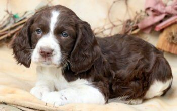 English Springer Spaniel Puppies For