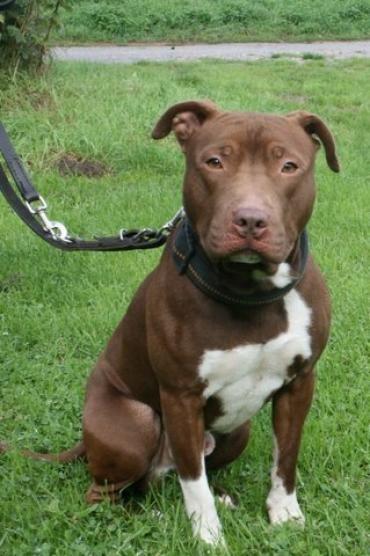 Bilder Und Video Anzeige Ates Amerikanischer Staffordshire Terrier Ausgestopftes Tier Rettungshunde Haustier