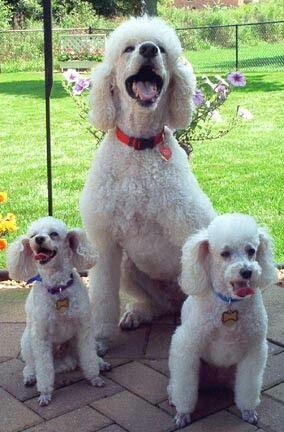 Mickey Keesha Teddy Poodle Dog Poodle Puppy Poodle