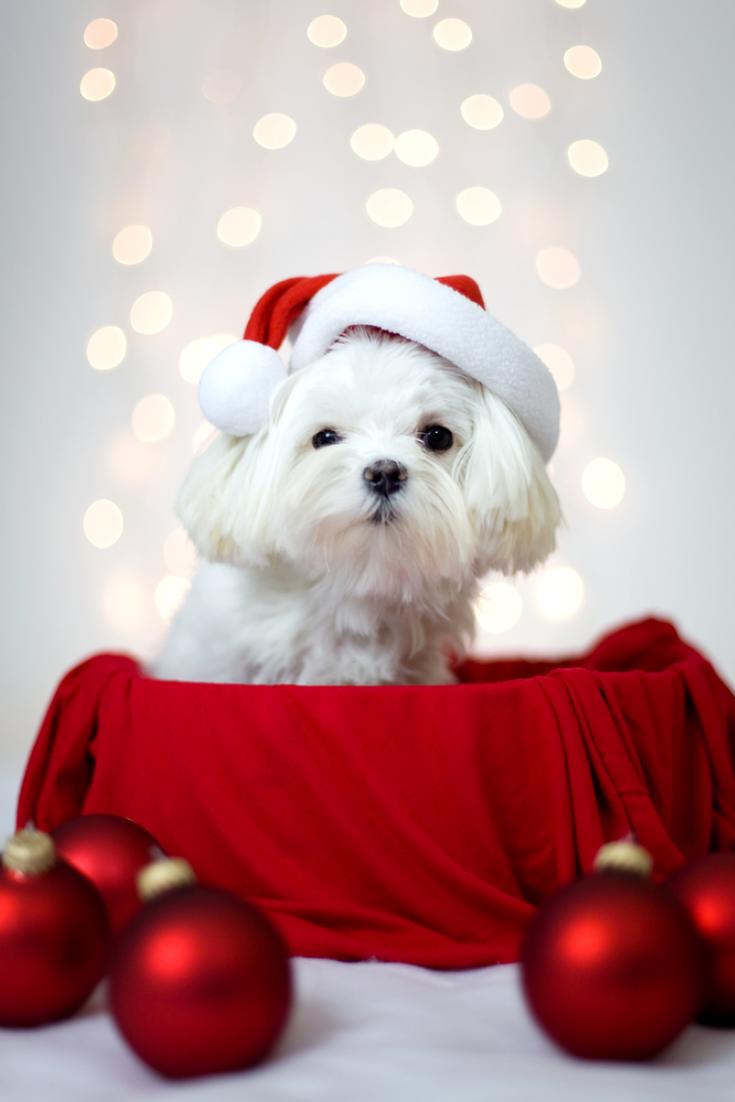 Maltese Dog With Holiday Santa Ha Maltese Dog With Holiday Santa