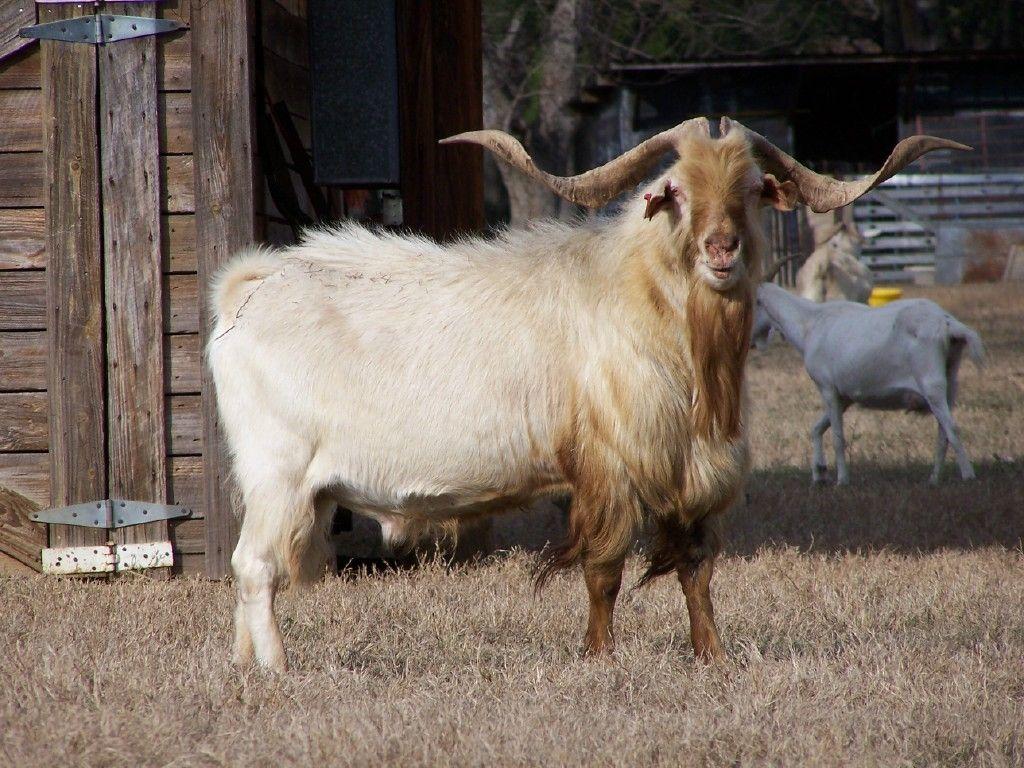 kiko buck Goats