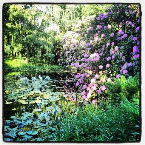 Rhododendron by the pond.