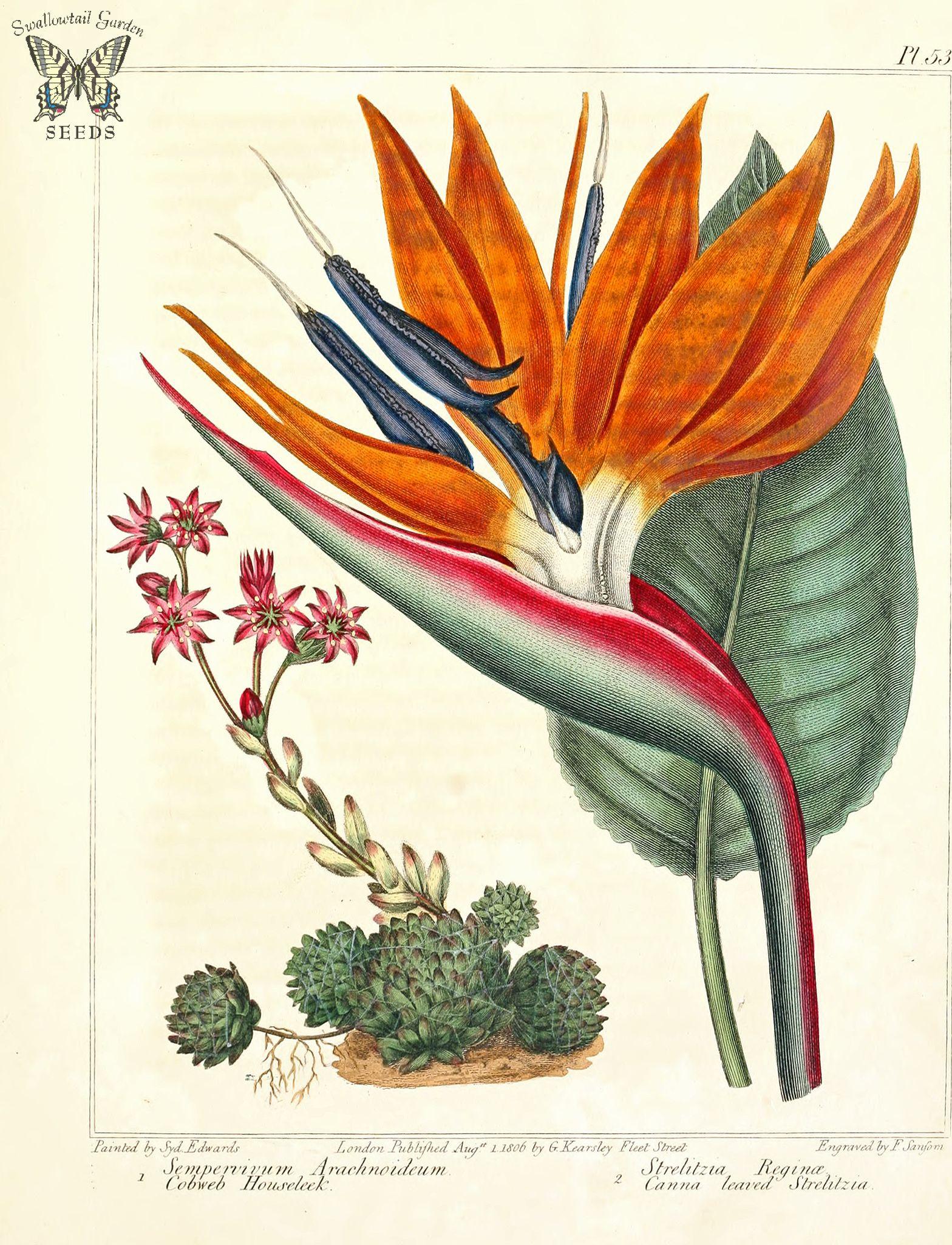 Cobweb Houseleek Sempervivum Arachnoideum And Bird Of Paradise Strelitzia Reginae The New Botanic Garden 1812 Botanical Illustration Botanical Drawings Botanical Illustration Vintage