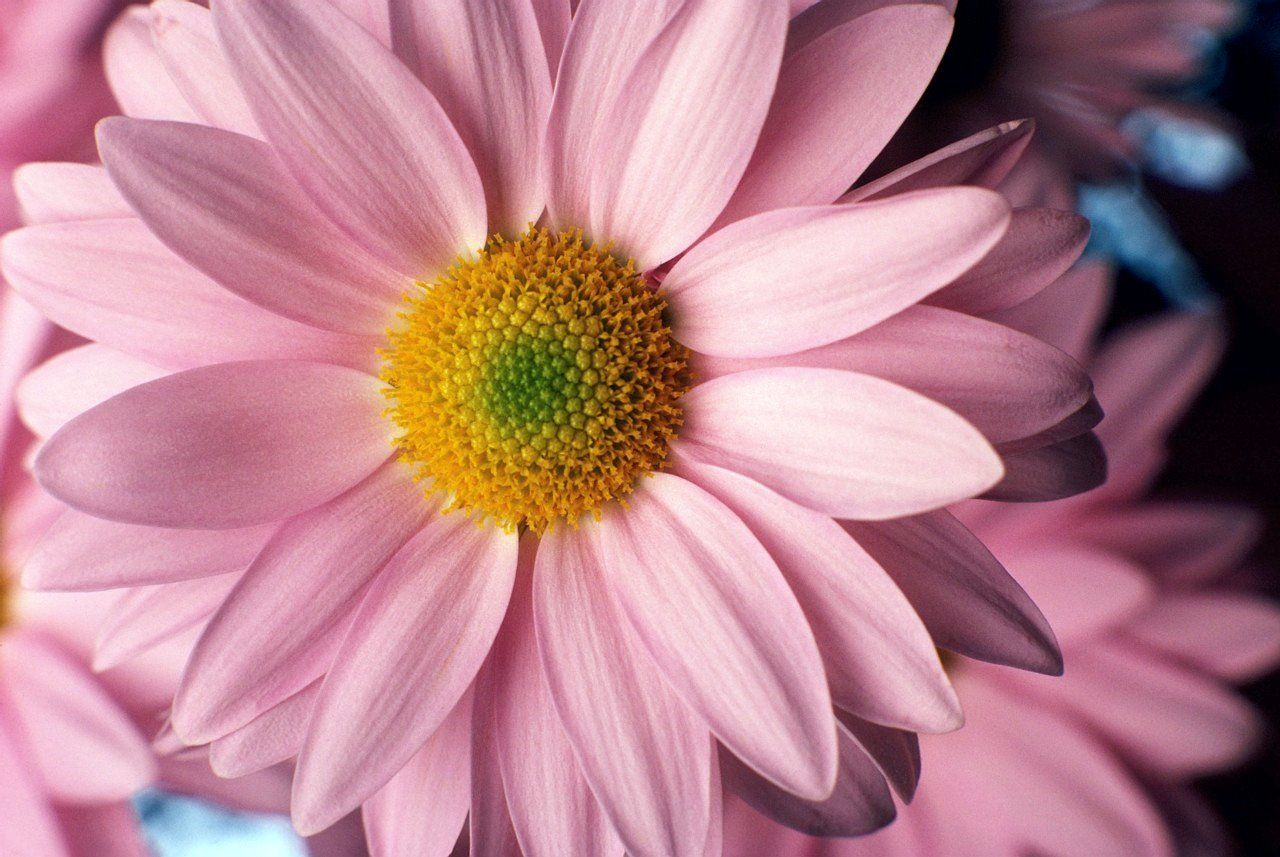 Light Pink Daisies Light Pink Daisies With Images Daisy