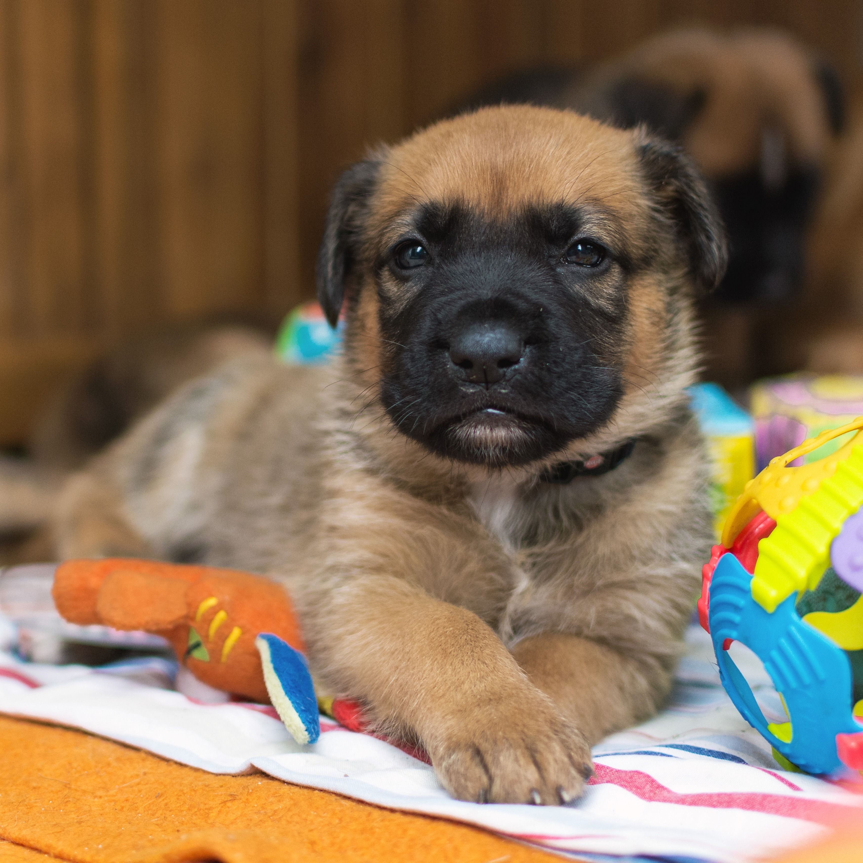 Cute german shepherd puppies german shepherd puppies
