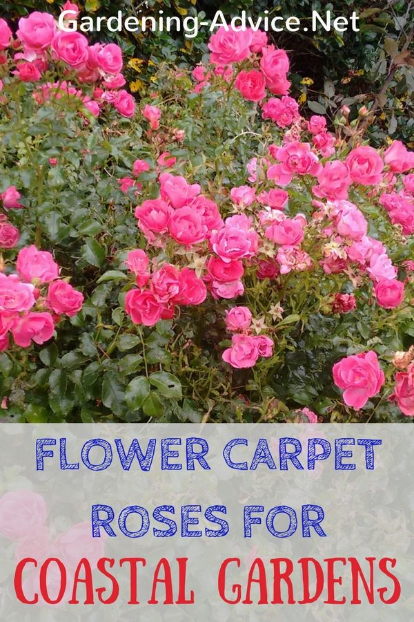Roses In Garden: Flower Carpet Roses For Coastal Gardens