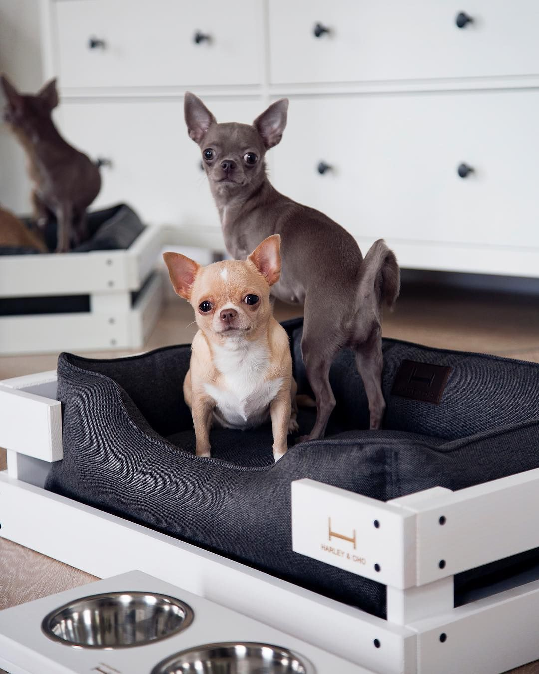 Puppy Love Chihuahua In Dog Bed Grey Dog Bed With White Wooden