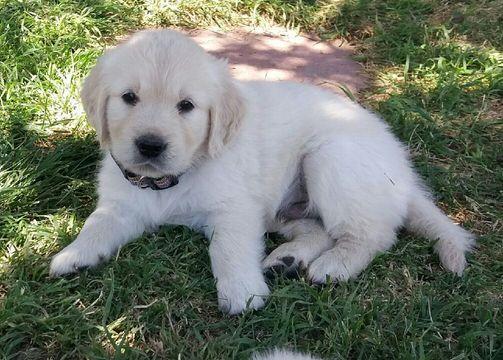 Tex Our 5 Month Old Golden Retriever Old Golden Retriever