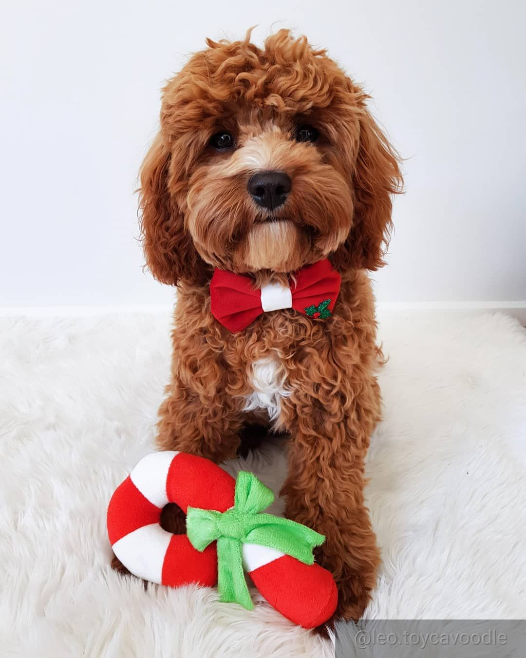 Everything You Need To Know About A Cavapoo Cavapoo Cavapoopuppies Cutepuppies Dogs Dogbeast King Charles Cavalier Spaniel Puppy Cavapoo Puppies Cavalier King Charles
