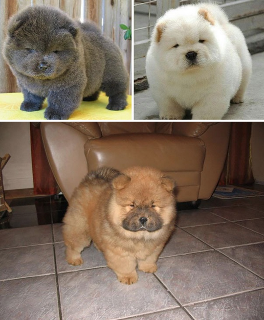 Must see Chow Chow Chubby Adorable Dog - a7cd48e41e91df0958f153f43d0f67c9  Image_34182  .png