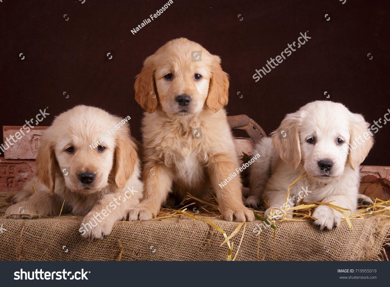 Golden Retriever Puppies In Autumn Granary Barn With Harvest