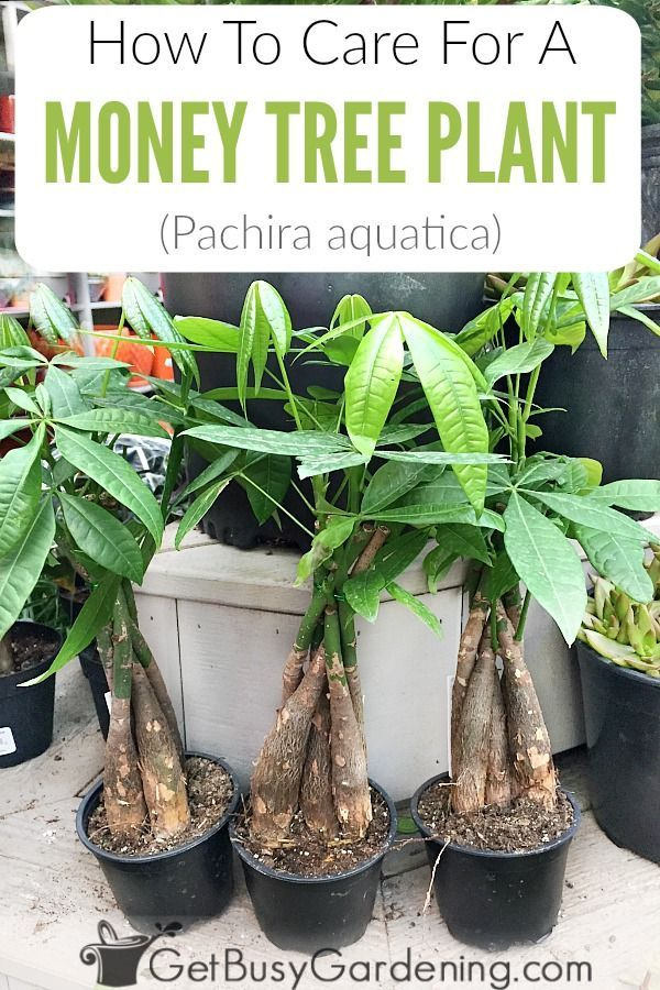 Money Plant Care Guide How To Take Care Of A Money Tree Plant