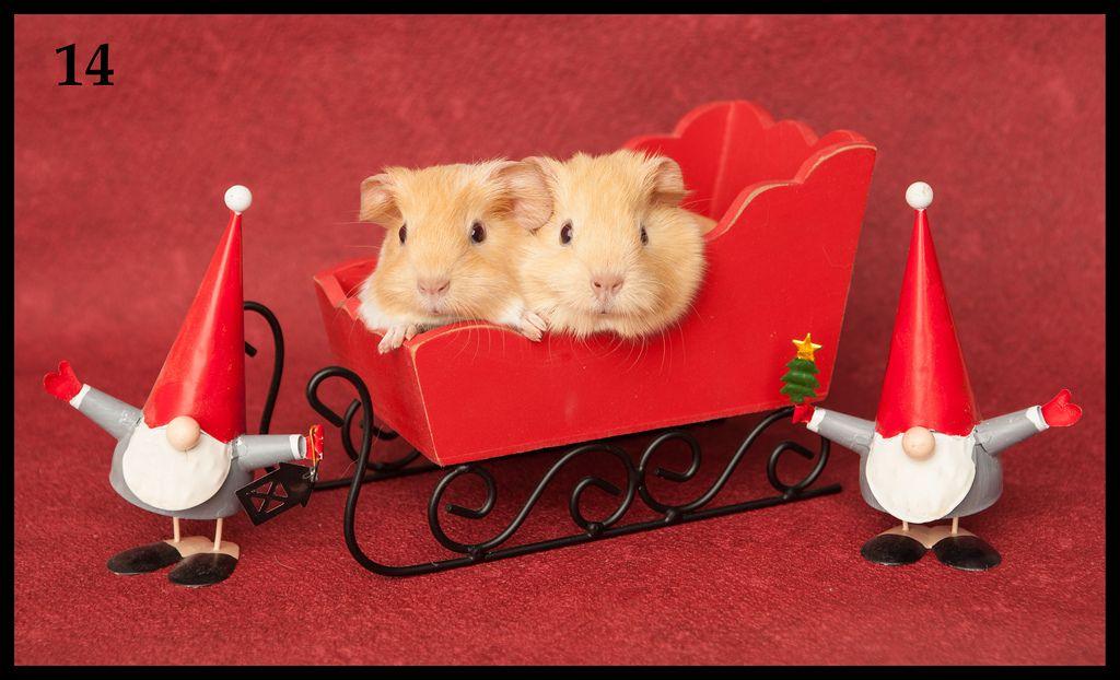 December 14, Joulukuu 14, Babies from Almond's Riobamba and Marsyas Brian. Two boars. Riomban ja Brianin lapset. kaksi urosta, mm. nämä ovat myynnissä. Buff roan ja cream, cream saattaa olla näyttelytasoinen. (by Lea Rahtu-Korpela)