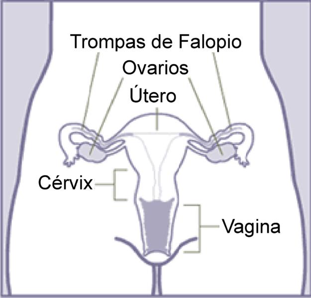 Check Out This Awesome Post Aparato Reproductor Femenino Para Colorear Aparato Genital Femenino Aparato Genital Aparato Reproductor Femenino