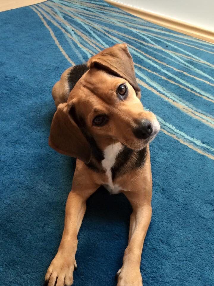 My Little Meagle Miniature Pinscher Beagle Mix Pets