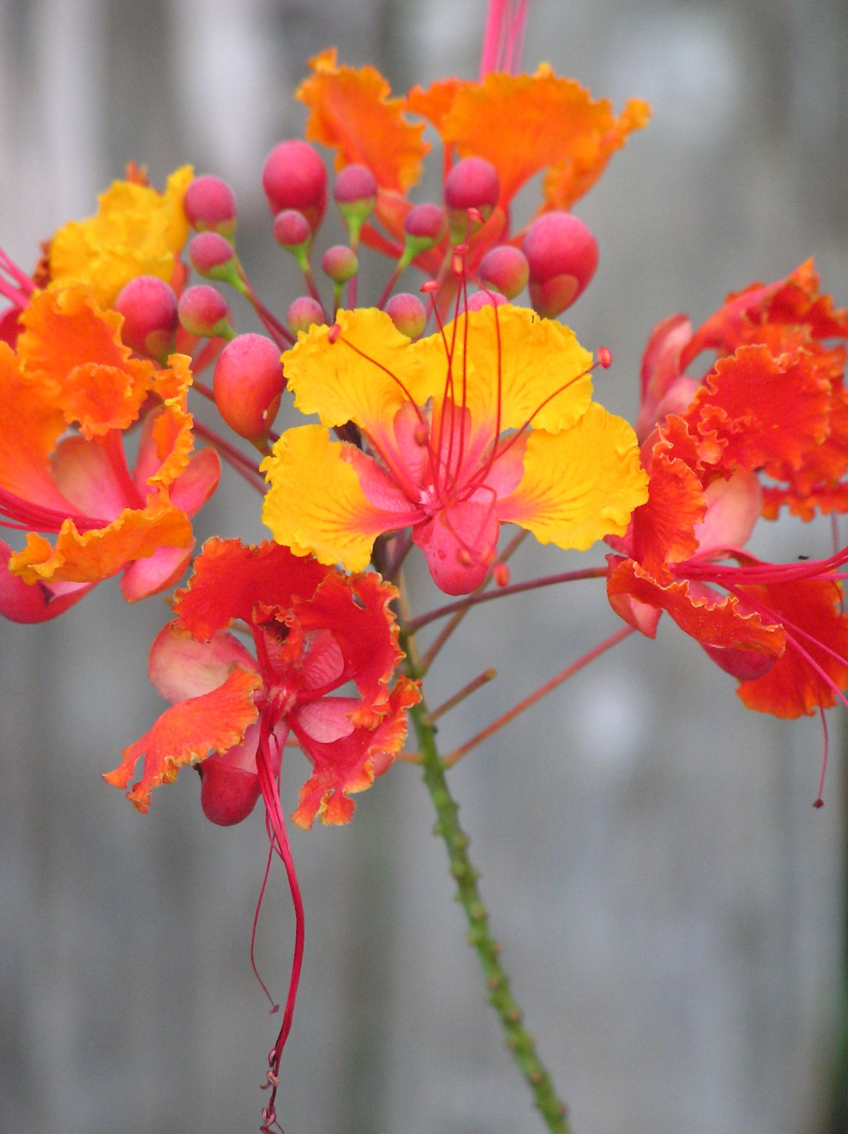 Cool Looking Plants Pride Of Barbados My Mom Has One Of These In Her Cactus