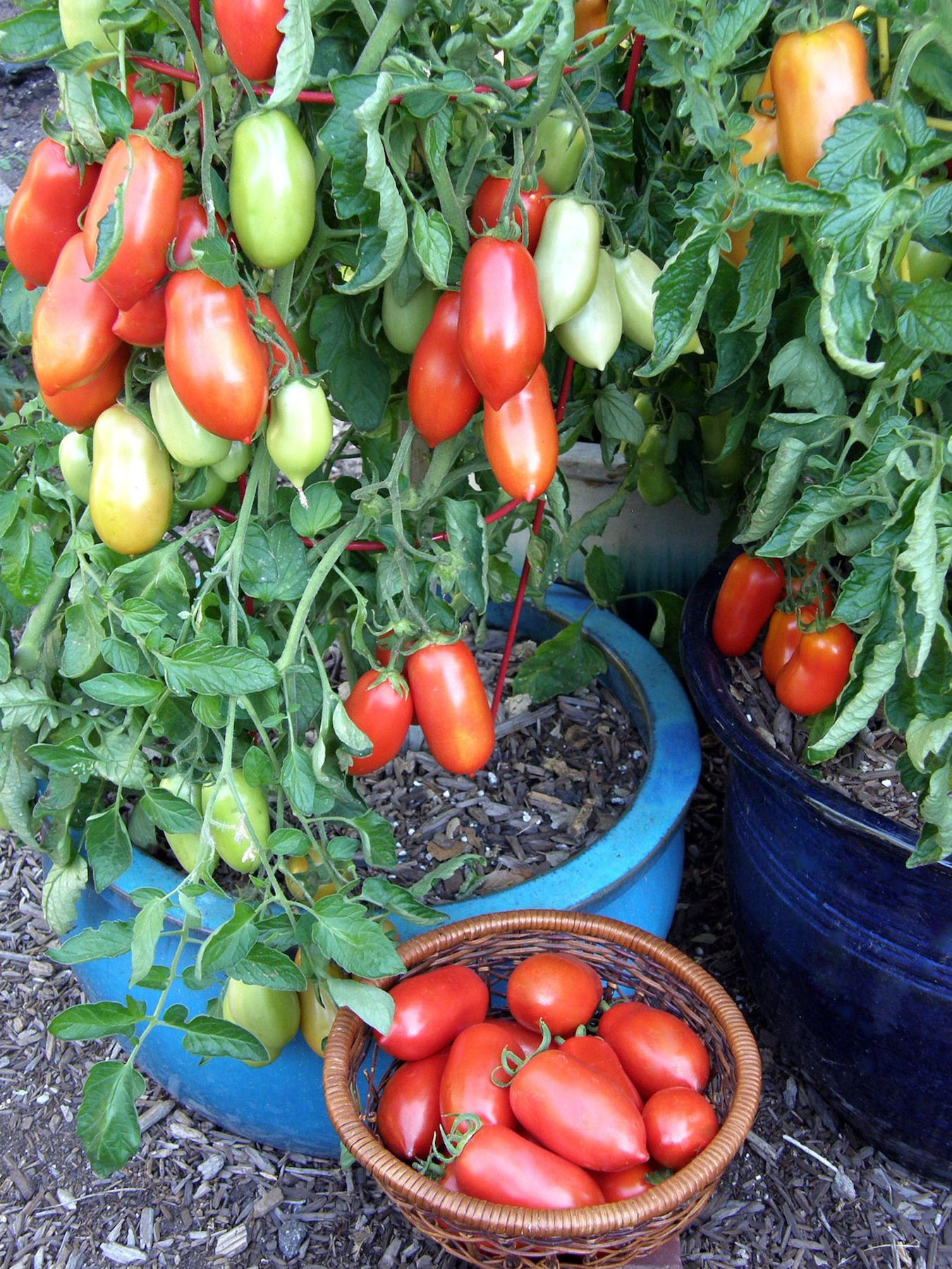 container roma tomato inca jewels another renee s garden